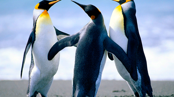 upload/38034/20181107/Penguins.jpg